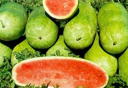 CHARLESTON GRAY - 5 gr -Seminte Pepene Verde Soi Semitimpuriu Suculent si Dulce