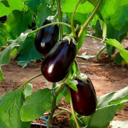 Clelia F1 - 500 sem - Seminte de vinete cu fructe oval-alungite si greutate medie de 400-500 gr de culoare negru lucios de la Esasem