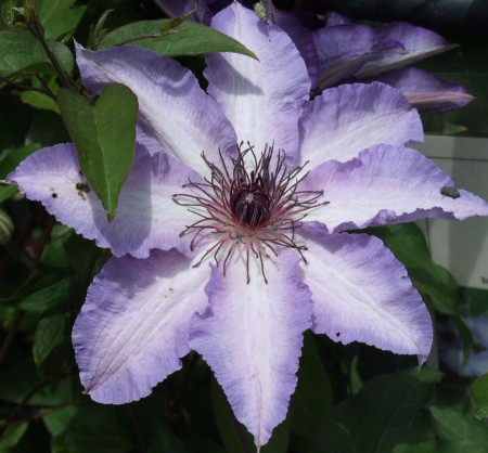 Clematite Misayo (1.5 m in ghiveci de 2 L), tufa ornamentala cataratoare Clematis, hibrid japonez cu flori mari, intr-o combinatie speciala de roz-violet pe margini si alb-roz in centrul petalelor