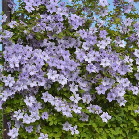Clematite Skyfall (1.5 m in ghiveci de 2 L) tufa ornamentala cataratoare Clematis, cu flori mari, de culoare albastru deschis si stamine violet-purpurii