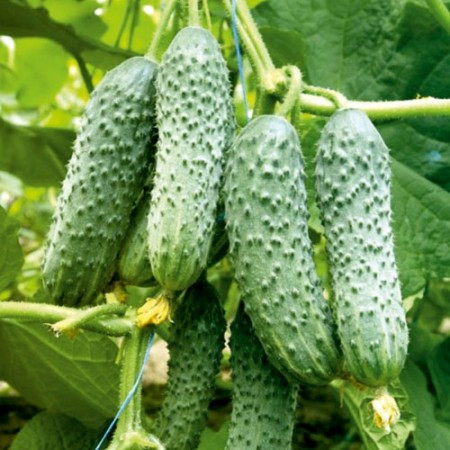 Cross Country F1 - 10 grame - Seminte de castraveti cu fructe de culoare verde inchis de o inalta calitate cu maturitate extratimpurie de la Clause