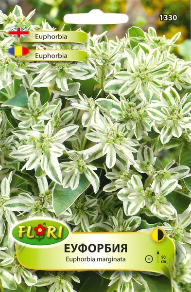 Euphorbia Marginata - Seminte Flori Euphorbia Planta Anuala de la Florian