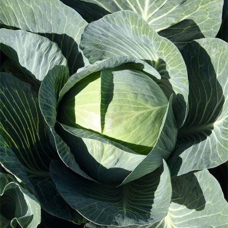 Expect F1 - 1000 sem - Seminte de varza alba cu tulpina interna scurta si frunze de culoare verde intens de la Bejo