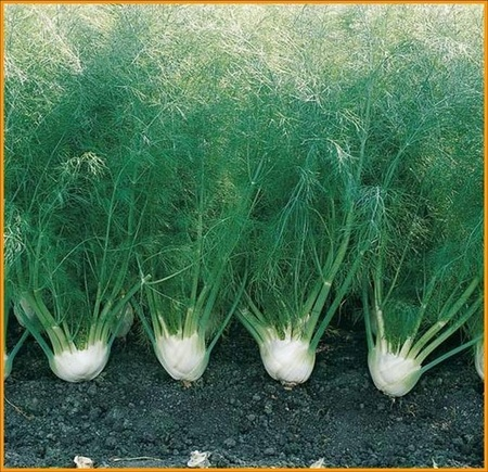 Fenicul (Marar pentru bulbi) 600 seminte de Fenicul cu bulbi mari si rotunzi