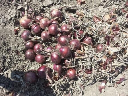 Fiamma F1 - 250.000 sem - Seminte de ceapa rosie foarte productiva cu bulb de culoare rosie ferm si rotund foarte apreciata de cultivatori cu maturitate de 110 zile de la Cora Seeds