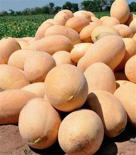 Flander F1 - 500 sem - Seminte de pepene galben tip ananas oval culoare interioara alb galbuie de la Syngenta