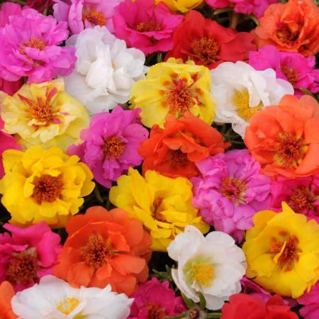 Flori de Piatra Mix - Seminte Flori Floarea de Piatra (AGURIJOARA) de la Florian