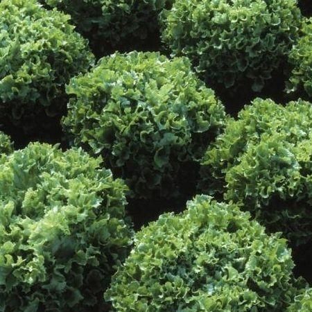 Fristina-5gr.-seminte de salata creata cu frunze verzi si crocante,450-700 gr. de la Hazera