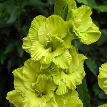 Gladiole Green Star (7 bulbi), gladiole extrem de atractive, cu flori mari de culoare verde-lime stralucitor, bulbi de flori