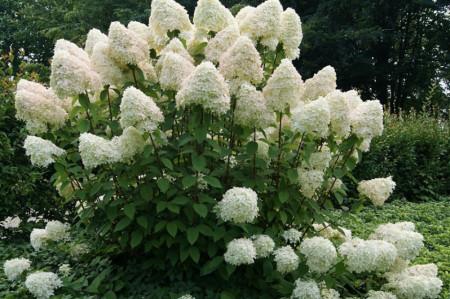 Hortensie Phantom (1 m in ghiveci de 2 L), Hydrangea paniculata, arbust ornamental cu flori grupate in buchete conice, albe, ce devin roz spre toamna