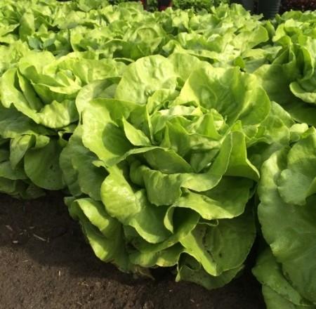 Jolito - 1000 sem - Seminte de salata de capatana drajate destinata culturilor de vara si vara-toamna ce se recolteaza dupa 40-55 de zile de la plantare in functie de greutatea dorita de la Rijk Zwaan