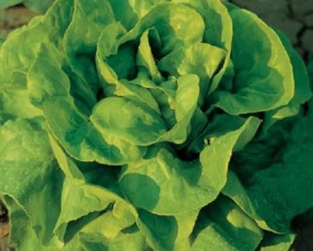 Justine - 10 grame - Seminte de salata prezentand toleranta foarte buna la emiterea tijelor florale si rezistenta la paritia de arsuri marginale ale foliajului de la Clause