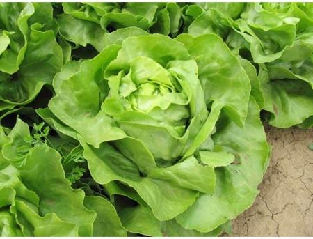 Laruna - 2500 sem - Seminte de salata cu capatana mare de culoare verde proaspat destinata culturilor de vara-toamna prezentand rezistenta la afide de la Enza Zaden