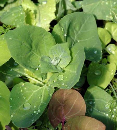 Loboda de gradina verde (0.4 grame), seminte de loboda pentru salate si supe, Agrosem