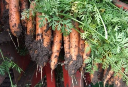 Morelia F1 - 25000 sem - Seminte de morcovi tip Nantes (calibru seminte 1.8 - 2.0) cu perioada de vegetatie de 90-100 de zile ce se recomanda a fi semanat in intervalul martie-august ajungang la o greutate medie de 80 de grame de la Rijk Zwaan