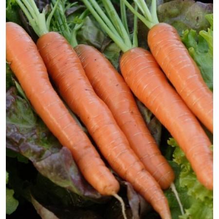 Napoli F1 - 25.000 sem - Seminte de morcovi tip nantes (calibru seminte < 2.0 mm) ce poate fi recoltat dupa 65 de zile de la rasarire de la Bejo