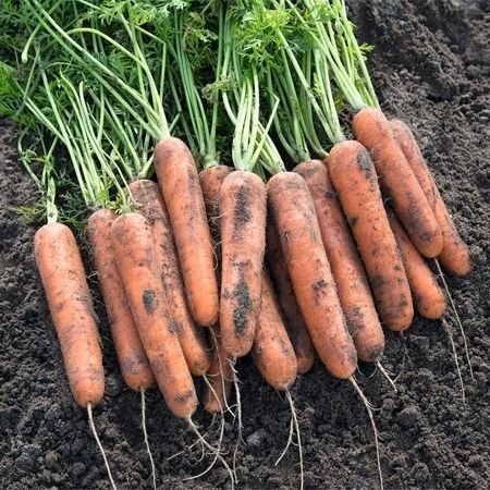 Natuna F1 - 25.000 sem - Seminte de morcov (calibru seminte < 2.0 mm) tip Nantes recomandat pentru cultura semitardiva cu o capacitate mare de pastrare de la Bejo