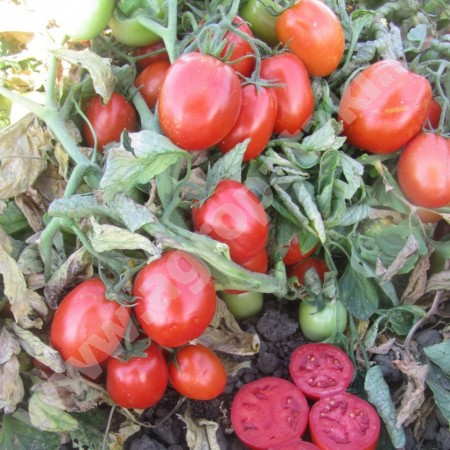 Nemabrix 2000 F1 - 1000 sem - Seminte de rosii determinate semi-timpurii 80gr/fruct de la United Genetics