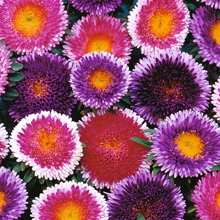 Ochiul Boului Bicolor Mix - Seminte Flori Ochiul Boului de la Florian