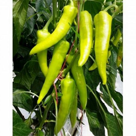 Paloc F1 - 250 sem - Seminte de ardei iute lung extra-timpuriu cu fructe mari 17-24 cm de culoare verde deschis si rosii la maturitatea fiziologica ce poate fi produs usor si poate fi pastrat o perioada lunga de timp de la Duna-R