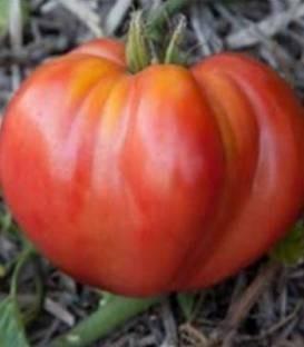 Pera D' Abruzzo - 100 sem - Seminte de rosii determinate cu fructe mari de peste 250-300 grame frumoase cutate avand caracteristici deosebite atat din punct de vedere al gustului cat si al calitatii fructului de la Cora Seeds