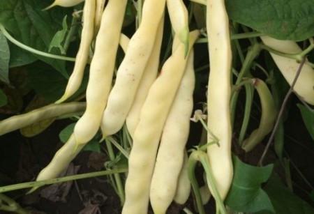 Plador (100 gr) seminte fasole pitica galbena lata, frageda, fara ate, Agrosem