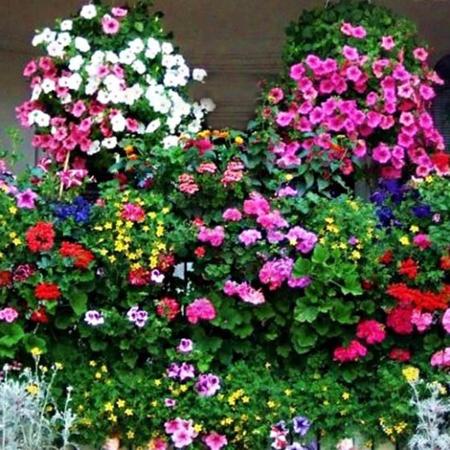 Planta Agatatoare Curgatoare - Seminte Flori curgatoare Agatoare Mix pentru Garduri si Balcoane de la Florian
