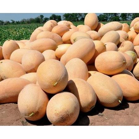 Raymond F1 (500 seminte) seminte de pepene galben semitimpuriu, Hazera