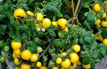 Rosii Aztek Balkony (50 seminte), seminte de rosii cu fructe mici, galbene, excelente pentru plantarea in ghivece, Florian