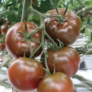 Sacher F1 – 100 sem – Seminte Tomate Negre Nedeterminate Extratimpurii pentru sere de la Yuksel Turcia