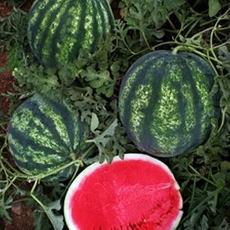 Seker F1 - 1000 sem - Seminte de pepene verde foarte aromat si gustos rezistenta mare dupa recoltare de la Yuksel