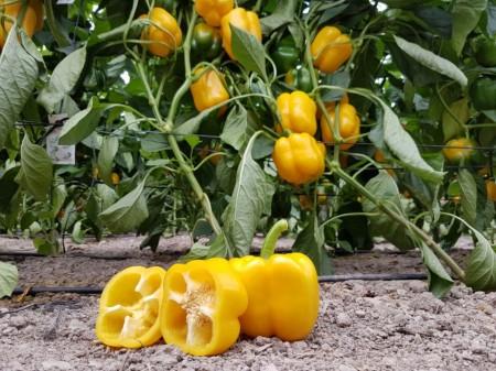 Seminte ardei gras Laritta F1 (1000 seminte), galben-portocaliu, agroTIP