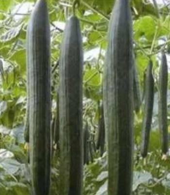 Seminte castraveti Loustik F1 (1000 seminte), lung timpuriu, Seminis