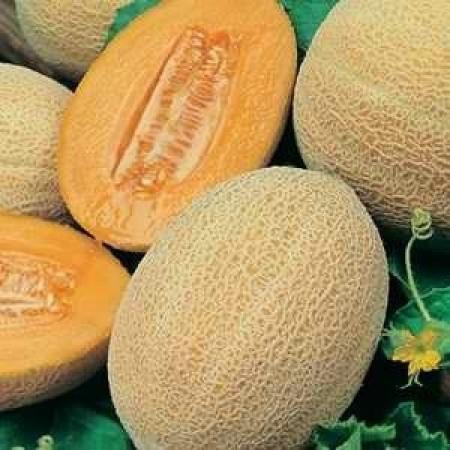 Seminte pepene galben Man 15025 F1 (500 seminte), tip ananas, Syngenta
