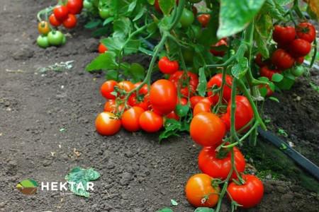 Seminte tomate Oltena F1 AS5 311 F1 (100 seminte), timpurii semideterminate, Hektar