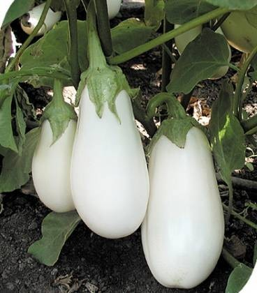 Seminte vinete albe Bibo F1 (500 seminte), vanata alba, hibrid timpuriu, Seminis
