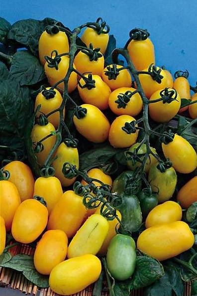 Taiko (0.5 gr) soi de rosii galbene alungite in forma de para semitimpurii de toamna, culoare galben-banana, Florian