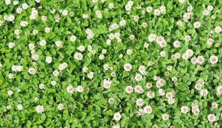 Trifoi Alb tip Pitic (500 gr) Seminte de Trifoi Alb Calitate Superioara Trifoi Alb Agrosem