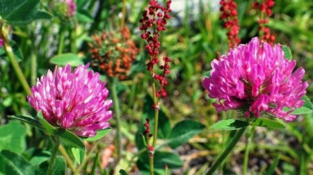 Trifoi Rosu - 500 gr - Seminte de Trifoi Rosu Calitate Superioara Trifoi Rosu de la Agrosem