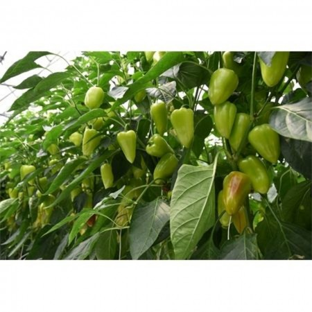 Trusheni F1 - 250 sem - Seminte de ardei gras conic cu crestere nedeterminata si fructe stralucitoare groase uniforme ajungand la o greutate de 100-120 grame de la Duna-R