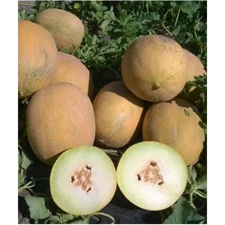 ZKI 11320 F1 - 100 sem - Seminte de pepene galben cu gust si aroma placuta de la Zki