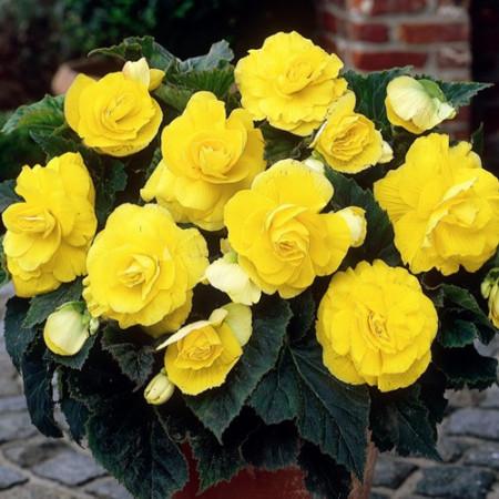 Begonie Double Yellow (3 bulbi), floare mare dubla, culoare galben, bulbi de flori
