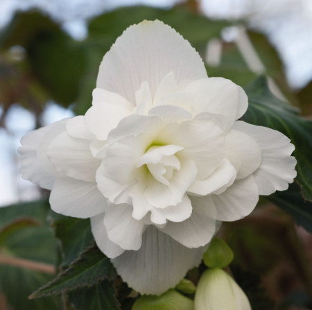 Begonie Ilumination White (2 bulbi), floare culoare alb, semicurgatoare, bulbi de flori