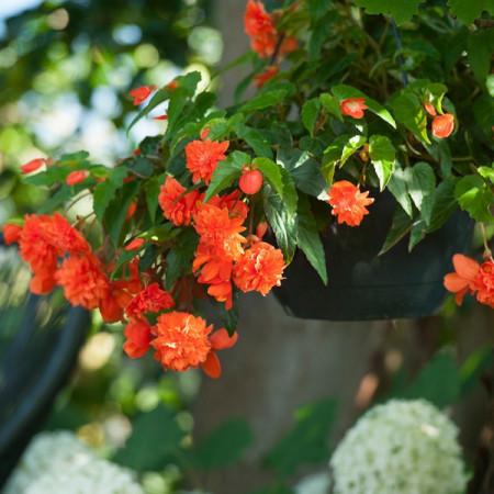 Begonie Pendula Orange (3 bulbi), floare mare, curgatoare, culoare portocaliu, bulbi de flori