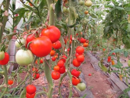Buzau 47 – 5 gr – Seminte Tomate Romanesti Semitimpurii de la SCDL Buzau