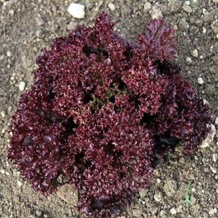 Carmesi - 1000 sem - Seminte drajate de salata creata rosie ce se poate planta atat in camp deschis cat si in spatii protejate primavara vara si toamna cu o perioada de vegetatie de 30-45 de zile  de la Rijk Zwaan