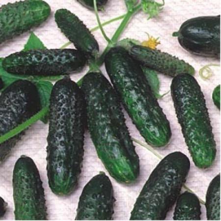 Castraveti Crisan (2 g), soi timpuriu cu fructe scurte de culoare verde inchis, Agrosel