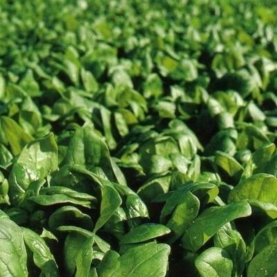 Celesta F1 - 20 grame - Seminte de spanac cu crestere rapida si frunza de culoare verde-inchis deosebit de productiv de la Florian