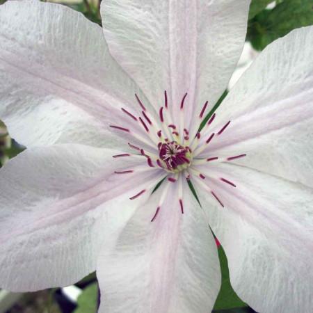 Clematita Jan Pawel II, tufa ornamentala cataratoare Clematis, cu flori mari, deosebite, colorate in alb-cremos cu o dunga roz deschis pe mijloc si stamine rosii, Yurta