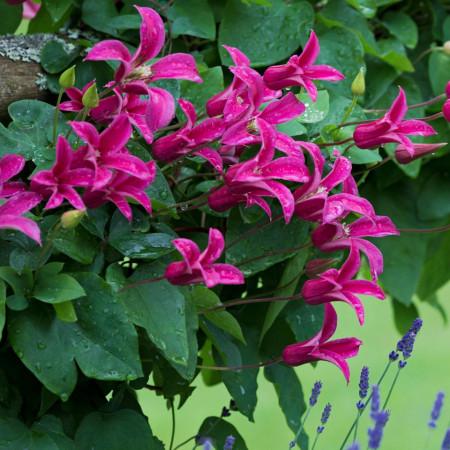 Clematite Princess Diana (1.5 m in ghiveci de 2 L), tufa ornamentala cataratoare Clematis, cu flori uimitoare in forma de lalea de culoare roz stralucitor si fructe pufoase decorative toamna si iarna
